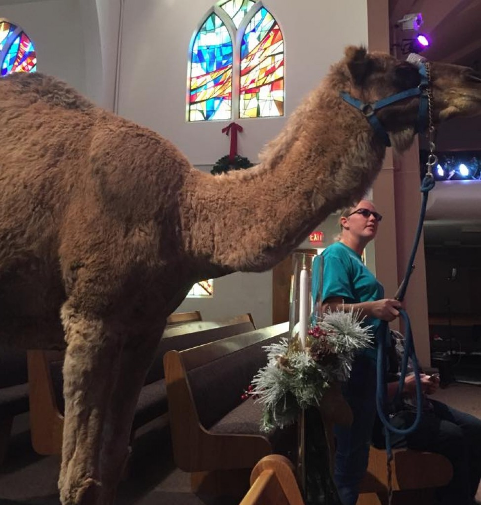 Abu the camel was an instant hit at La Sierra the minute he stepped into church...  Thanks to an anonymous LSU student for the picture.